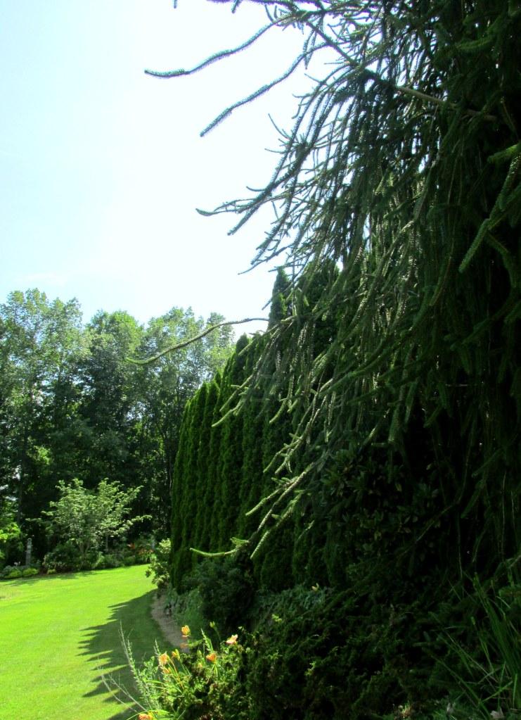 evergreens and arborvitae hedge