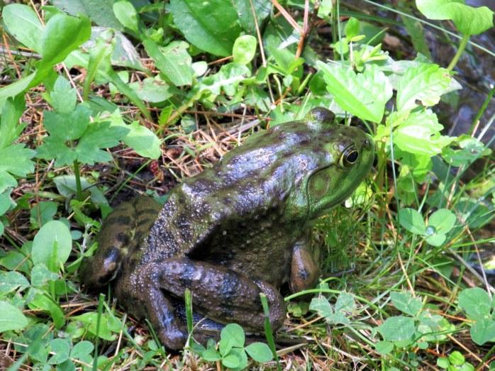 frog beside large pond