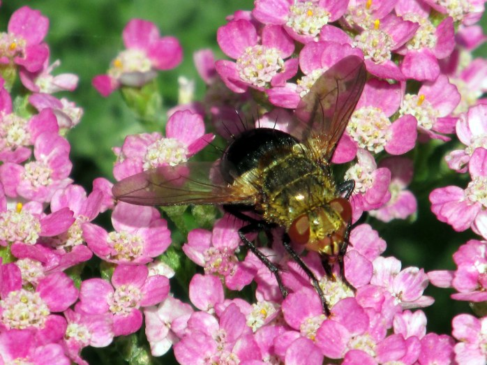 Tachinid fly, perhaps Archytas apicifer, om 'Summer Pastel' yarrow