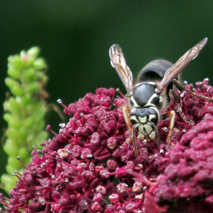 The bald-faced hornet (Dolichovespula maculata) eats nectar, fruit juice, sap, and insects