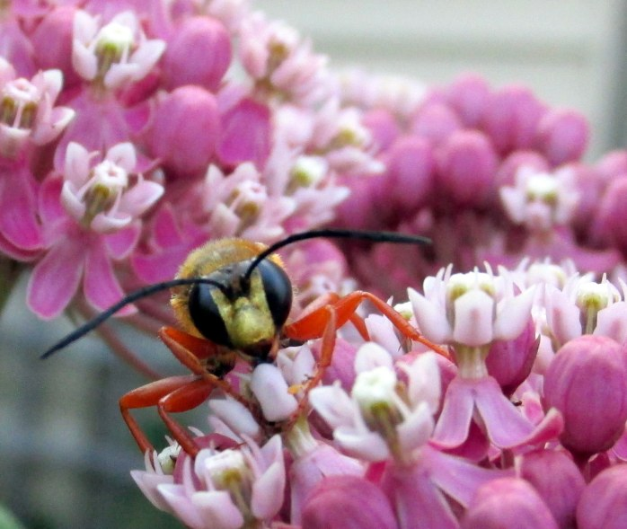 great golden digger wasp on asclepias incarnata