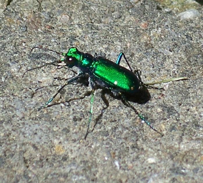 6-spotted tiger beetle (Cicindela sexguttata)