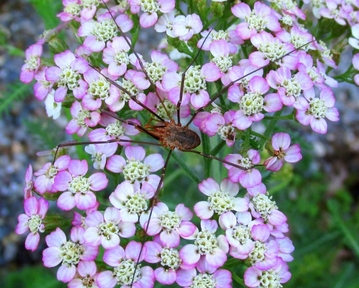 harvestman spider(Opiliones sp) on pastel yarrow - they eat a variety of insects and other arthropods, and also scavenge food from feces, fungi, etc.
