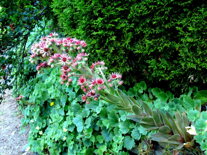 Hens and Chicks blooming along stone wall