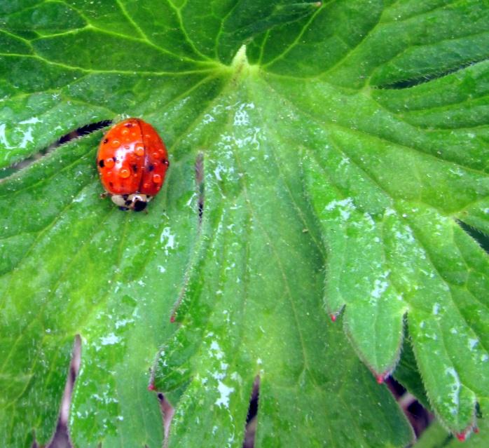 lady bug (family Coccinellidae) on geranium leaf