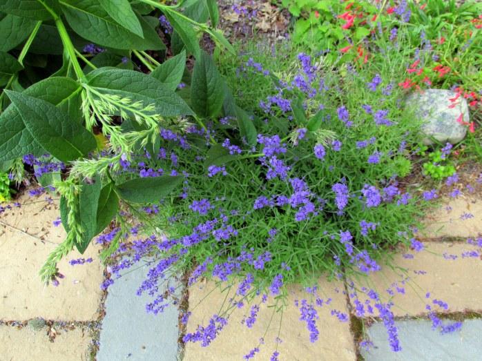 """Lavender intermedia """"Provence"""""""