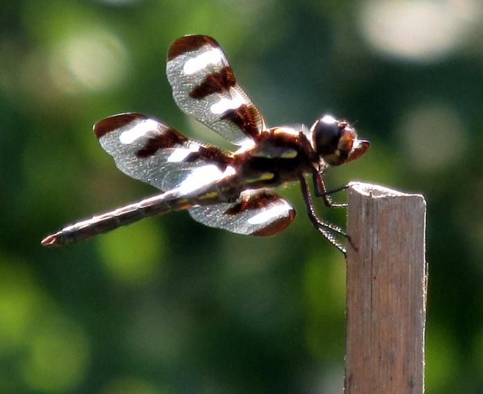 male 12-spotted skimmer (Libellula pulchella)
