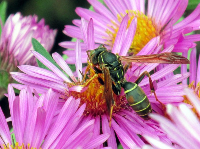 northern paper wasp (polistes fuscatus) feeds grasshoppers, caterpillars, and other insects to the larvae