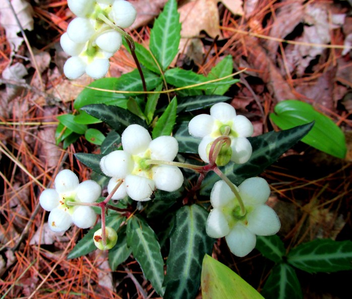 one of many clumps of spotted wintergreen (chimaphila maculata), woods path