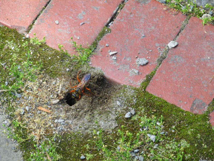 great golden digger wasp going into its nest