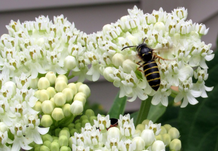 'Ice Ballet' asclepias with pollinator