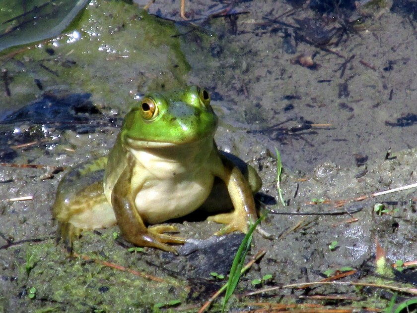 Kermit the frog at large pond