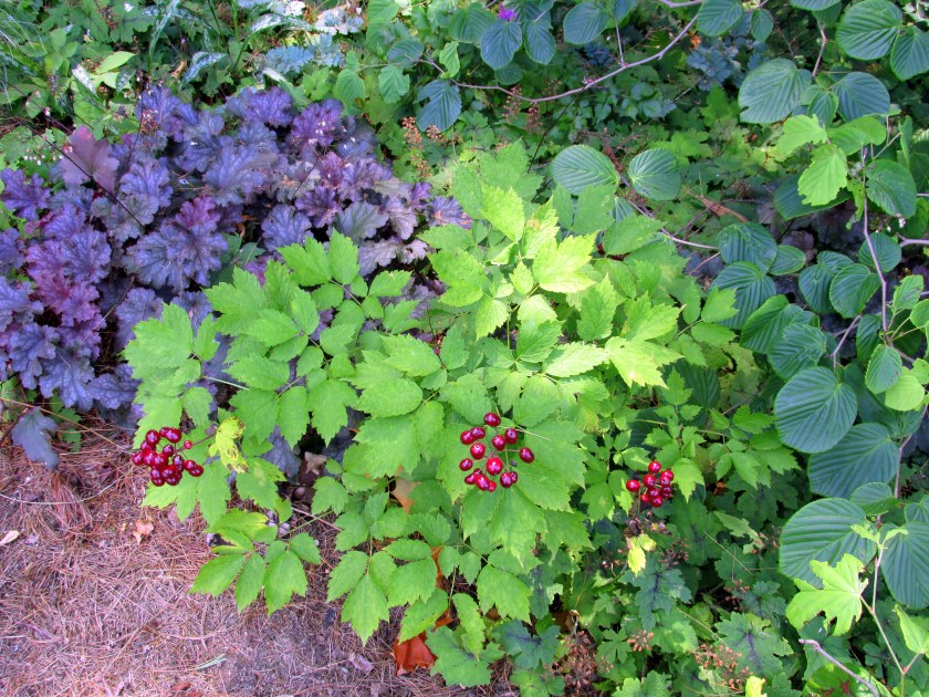 red baneberry, heuchera