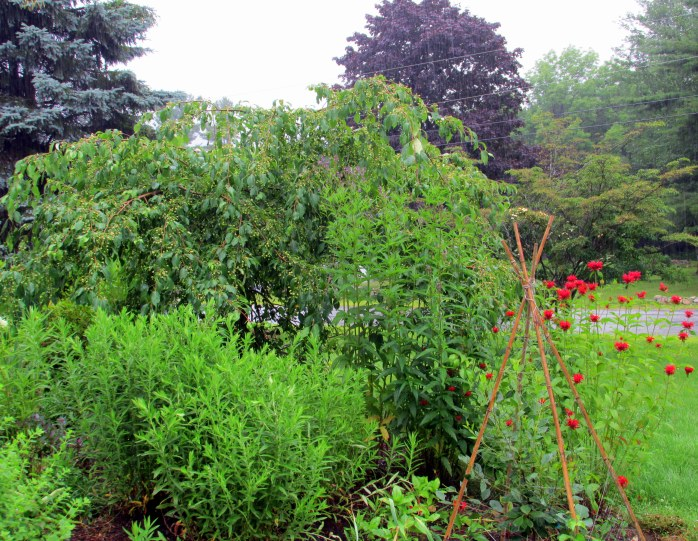 "red bee balm, vervain, weeping ""Jade"" crabapple, asters, dwarf tart cherry tree"