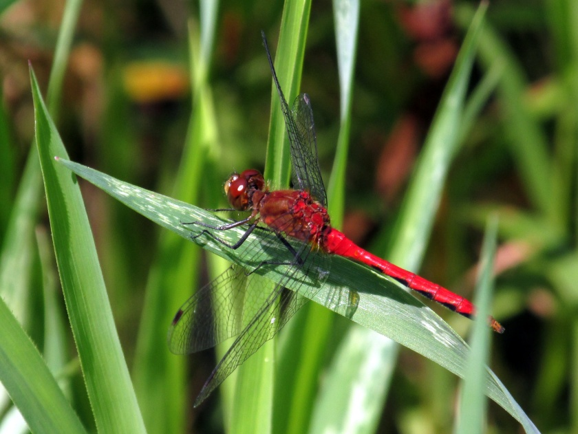 red dragonfly by large pond