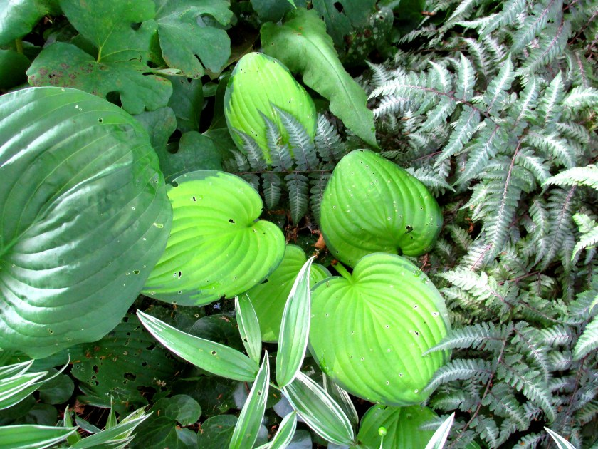 hosta, Japanese painted ferns, bloodroot, ginger, grass