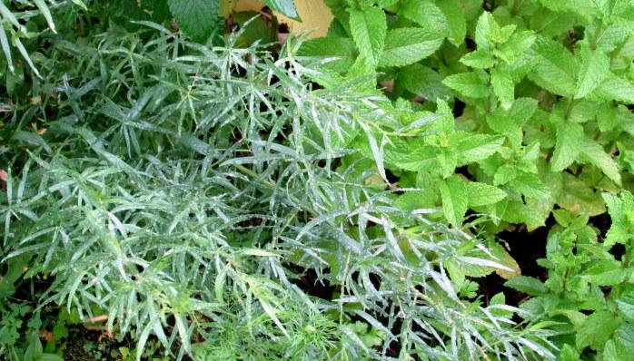 tarragon and mint