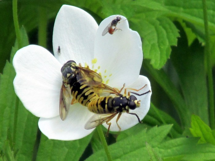 Temnostoma alternans (hoverflies), a syrphid fly, and a fungus gnat on Anemone sylvestris