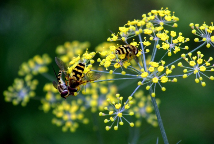 three syrphid flies on dill