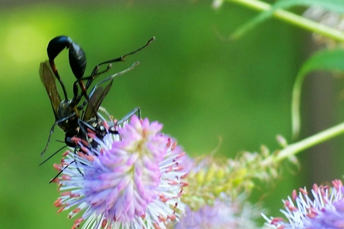 two thread-waisted wasps (Eremnophila Aureonotata) - their larvae feed on insects