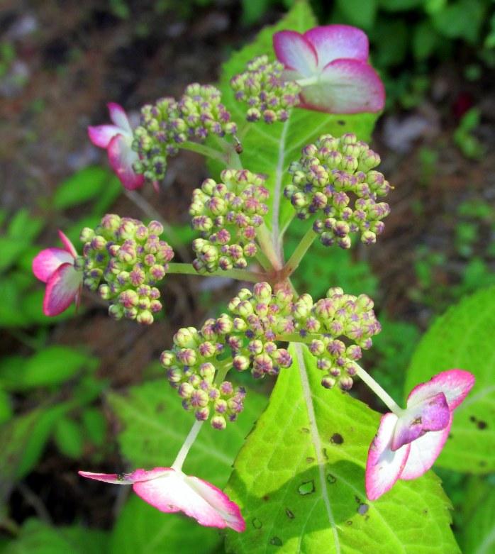 variegated hydrangea bloom