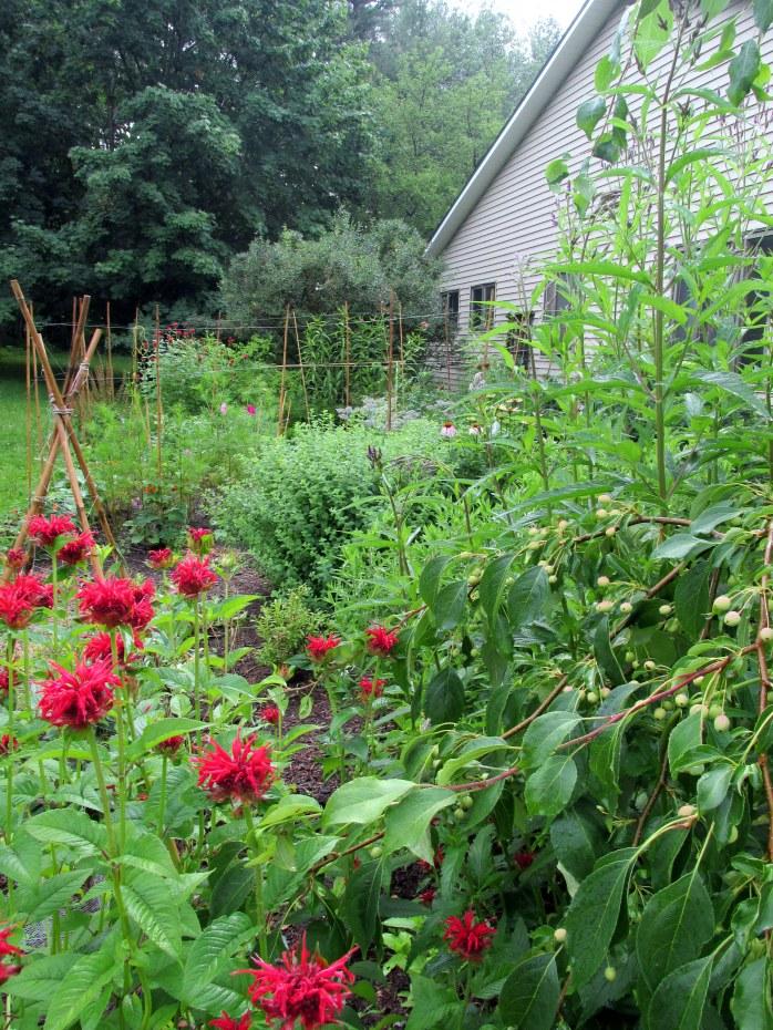 vegetable garden through bee balm