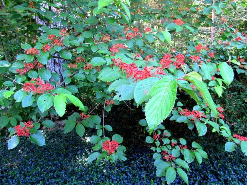 Viburnum plicatum (Japanese snowball) with red berries