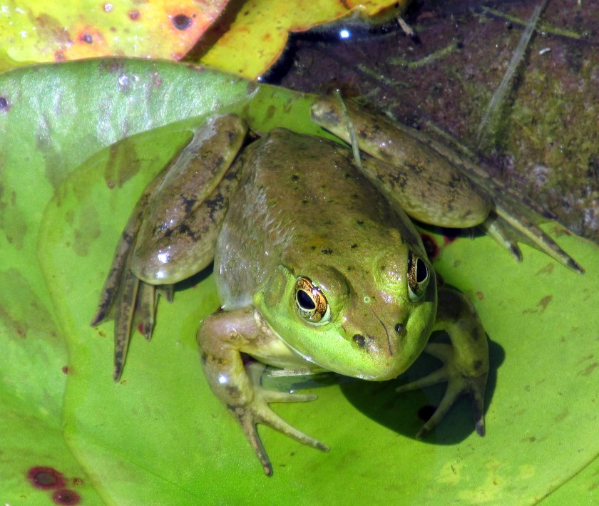 frog in Wiggle Waggle