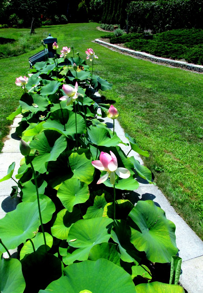 lotuses in bloom, Wiggle Waggle