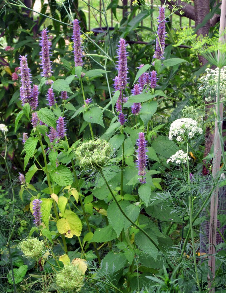 anise hyssop and Queen Anne's Lace in fruit guild