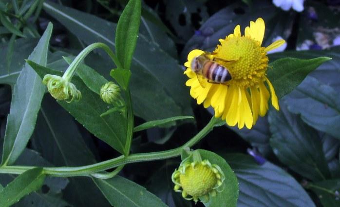 bee on cup plant (Silphium perfoliatum)