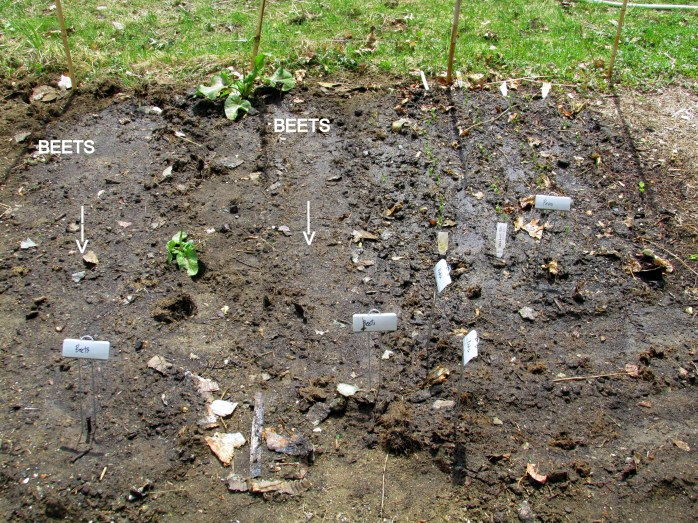 beets, peas, and radishes planted 5 May