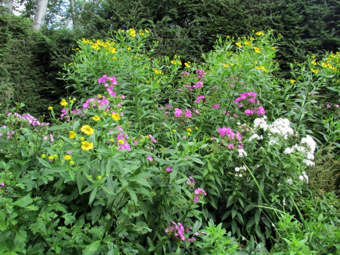 borderwithpinkwhitephloxandyellowcupplantSilphiumPerfoliatumStGaudens23Aug2015