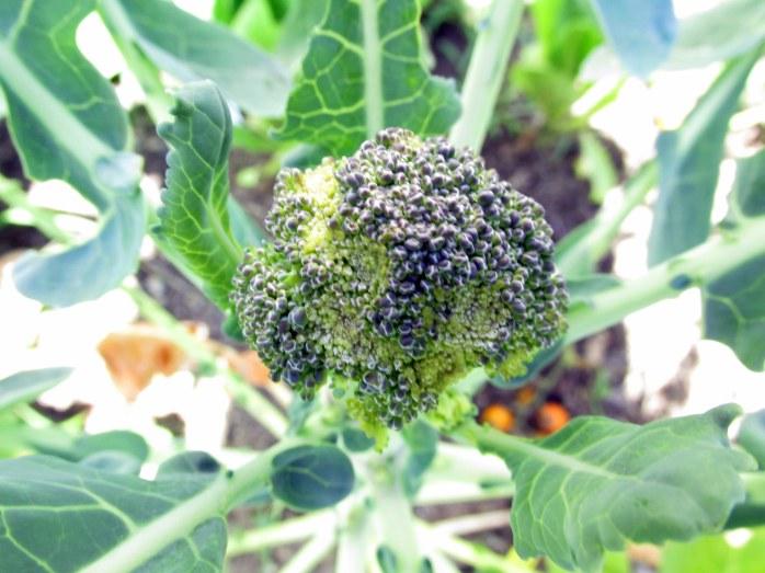 broccoli28Aug2015
