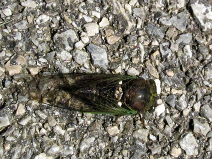 very much alive cicada on pathway in the evening