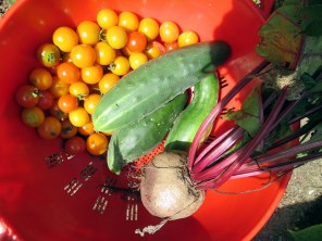 cucumberscherrySungoldtomatoesbeet14Aug2015
