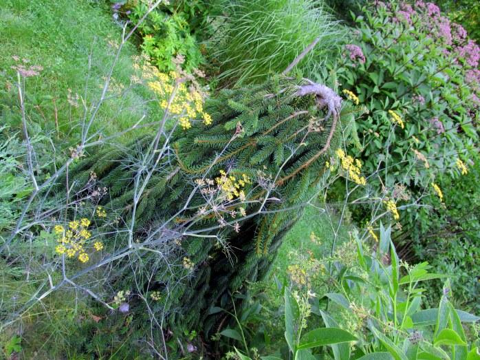 dill, weeping dwarf spruce
