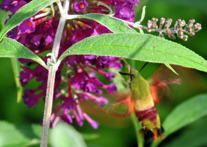 Hemaris thysbe (hummingbird clearwing) on buddleia