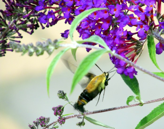 hummingbirdmothinflightonbuddleia5Aug2015