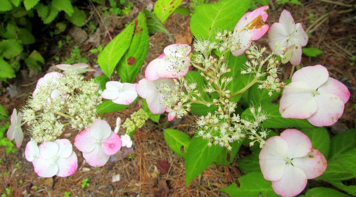 hydrangea (from a plant sale) in bloom