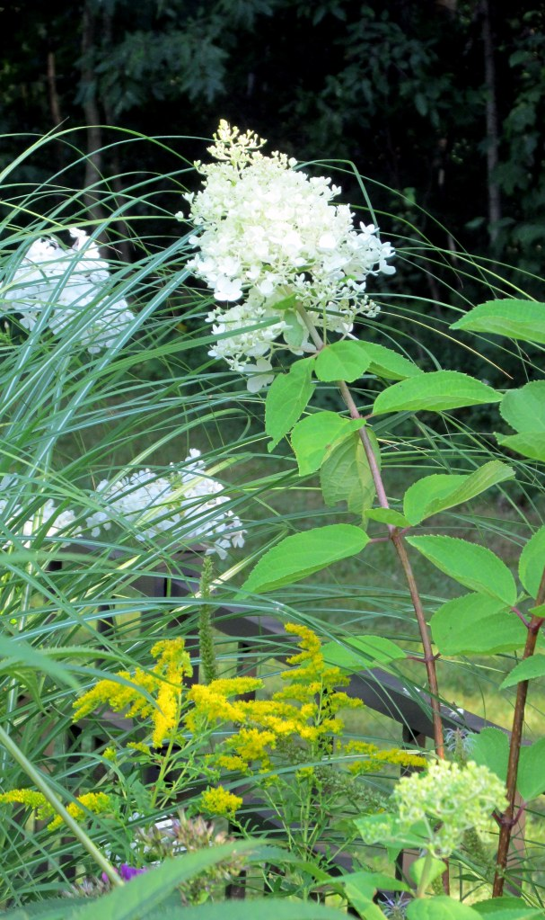hydrangea (plant sale) and goldenrod in the back border