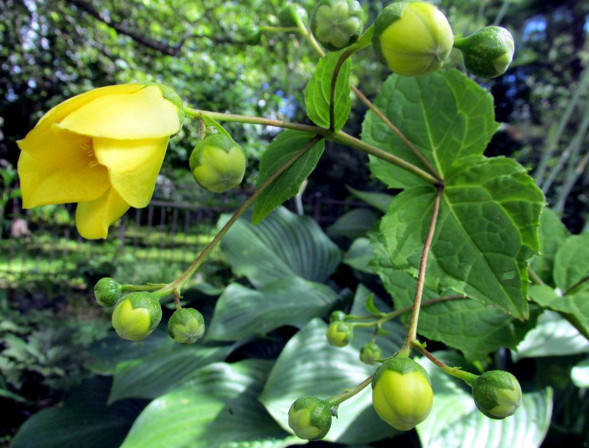 Kirengeshoma in bud and bloom