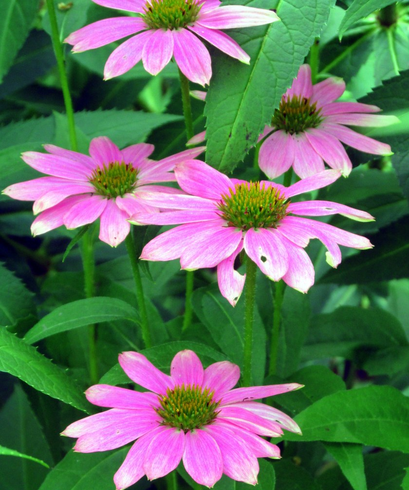 light pink echinacea in back border