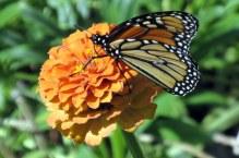 monarchorangezinnia16Aug2015