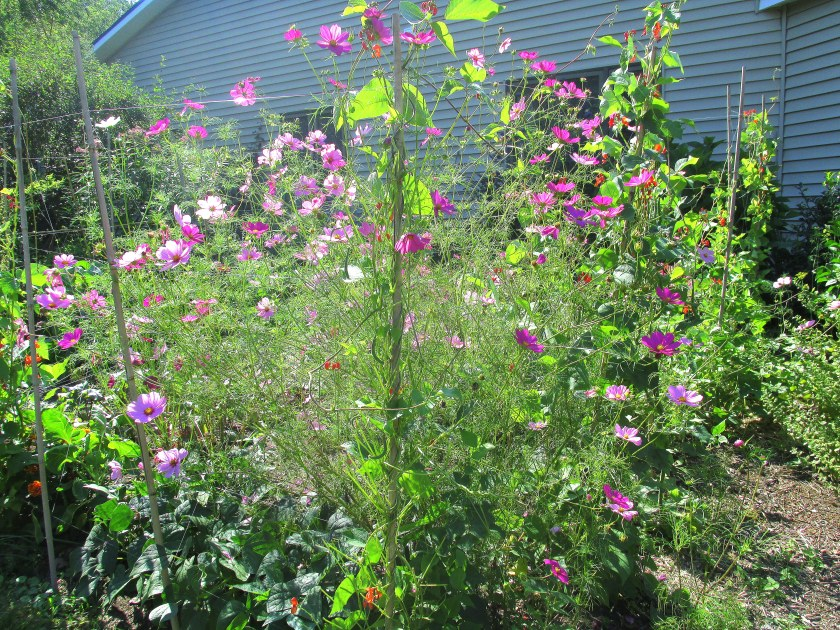 mostly cosmos in the vegetable garden