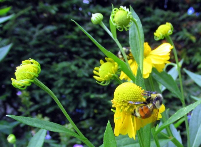 orange belted bumblebee on cup plant (Silphium perfoliatum)
