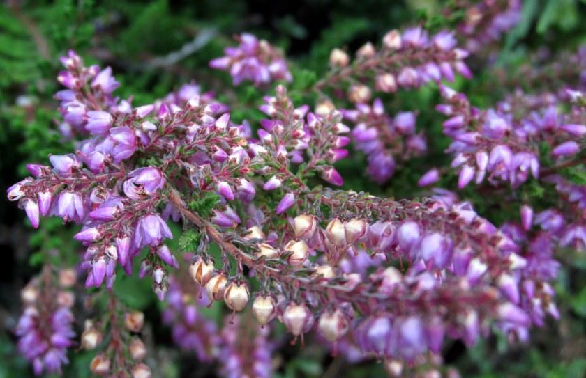 purpleheatherinbloom15Aug2015