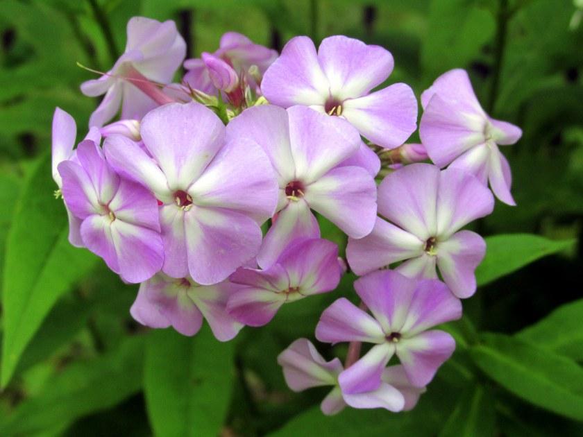 purplewhitephloxbackborder13Aug2015