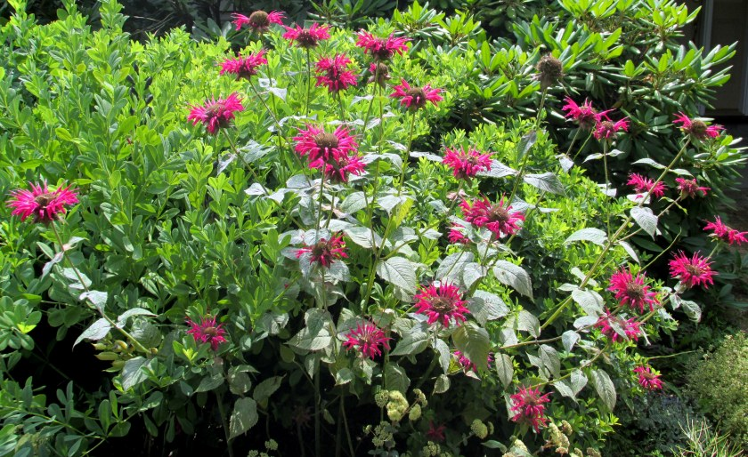 red bee balm (Monarda) in front bed