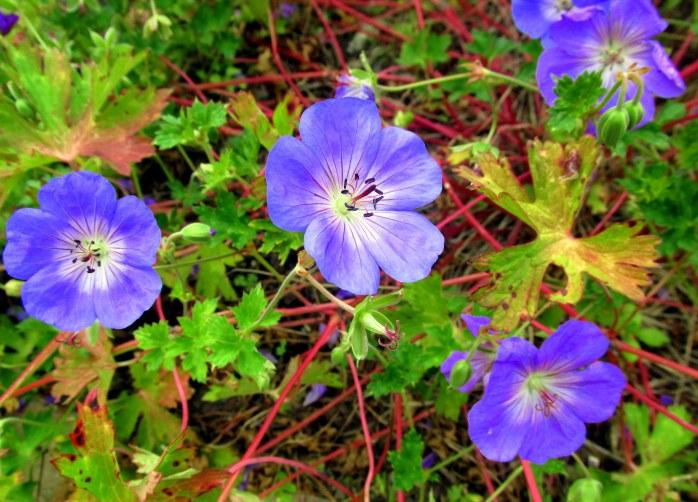 'Rozanne' geranium
